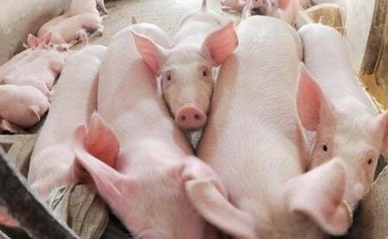 Bạc Liêu cảnh báo người chăn nuôi tái đàn