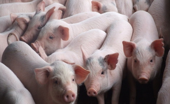 Xuất khẩu lợn sữa tăng mạnh