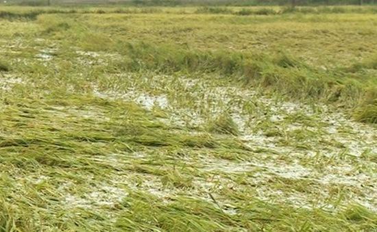 Quảng Trị: Hàng trăm ha lúa bị mất trắng vì không có hệ thống tiêu úng