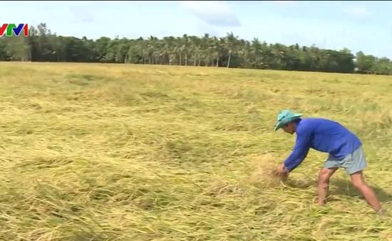 Mưa bão làm đổ hàng ngàn ha lúa ở Trà Vinh