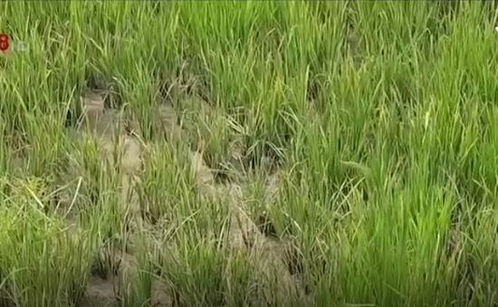 Bệnh lùn sọc đen trên lúa bùng phát ở Quảng Trị