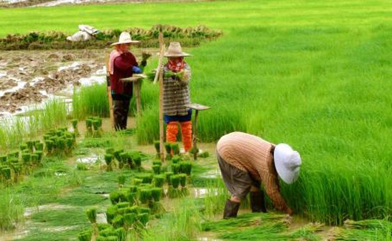 Việt Nam lọt top 10 quốc gia có sản lượng lúa gạo lớn nhất thế giới