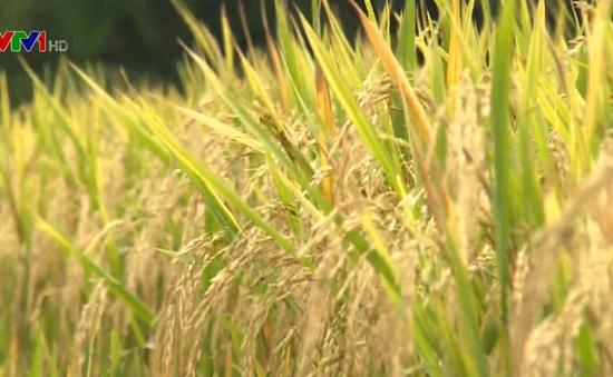 Khó kiểm soát lúa giống ở ĐBSCL