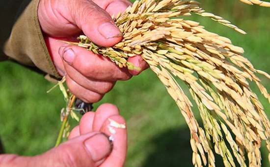 Hà Tĩnh: Thiệt hại gần 700 tỷ đồng do dịch bệnh lớn trên lúa