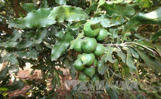 Các tỉnh Tây Nguyên thận trọng mở rộng diện tích cây mắc ca