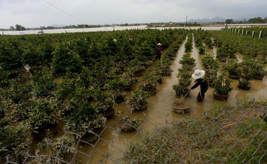 Người trồng mai gặp khó sau lũ