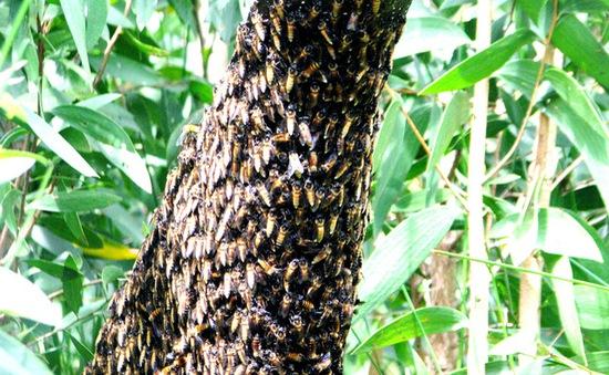 Phát hiện mật ong nuôi giả mật ong U Minh hạ