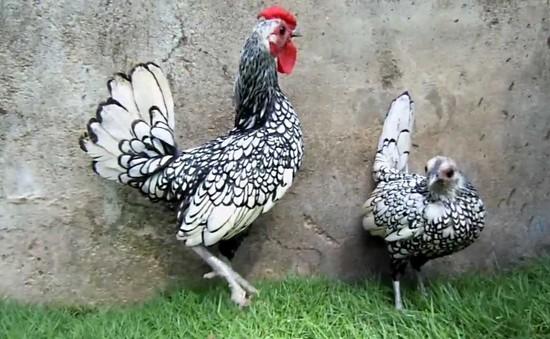 Café Sáng với VTV3: Choáng trước những giống gà quý tộc có giá đắt đỏ