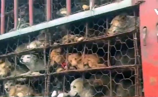 Trung Quốc: Giải cứu hơn 1.000 chó, mèo từ lễ hội thịt chó Ngọc Lâm