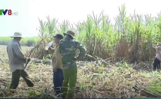 Khánh Hòa: Nông dân gặp khó khi thu hoạch mía do mưa lớn
