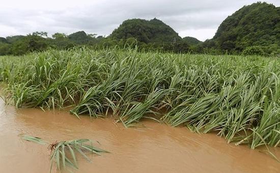 Gần 2.000 ha mía ở Hậu Giang bị ngập úng