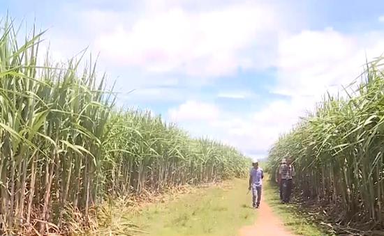 Gia Lai: Hơn 1.000 hộ dân tham gia cánh đồng mẫu lớn