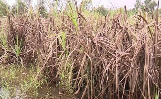 600 ha mía bị ngập nước, nông dân Long An lao đao