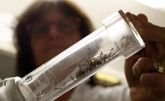 Mỹ: Florida thả 20.000 con muỗi biến đổi gen để chống Zika