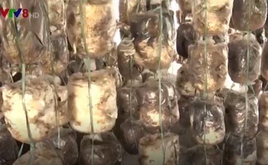 Ngư dân Quảng Trị trồng nấm sau sự cố môi trường biển