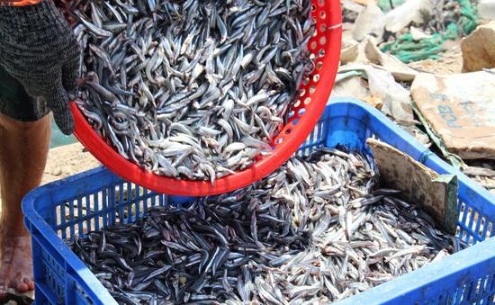 Ngư dân Nam Trung Bộ được mùa cá Nam