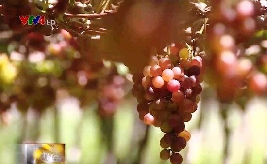 Người trồng nho Ninh Thuận thiệt hại do biến đổi khí hậu
