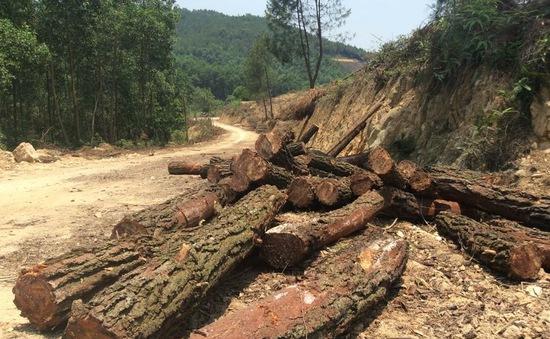 Lâm Đồng: Lâm tặc chặt hạ hàng loạt cây thông ba lá