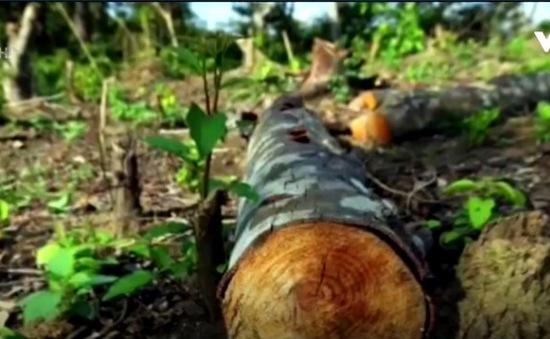 Liên tiếp các vụ phá rừng đặc dụng tại Điện Biên