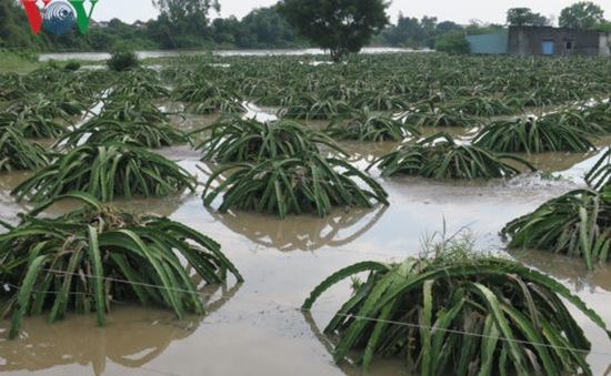 Bình Thuận: Gần 500ha thanh long bị thiệt hại do lũ
