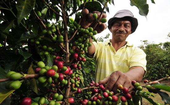 Colombia đặt mục tiêu tăng sản lượng cà phê năm 2017