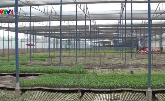 An Giang: Ươm rau giống xuất khẩu thu lợi hàng trăm triệu/năm