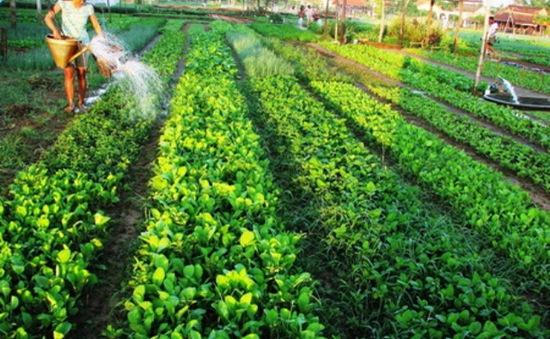 Ghé thăm làng Trà Quế với những món rau thơm ngon nổi tiếng
