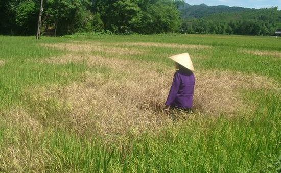 Dịch rầy nâu bùng phát ở Quảng Trị