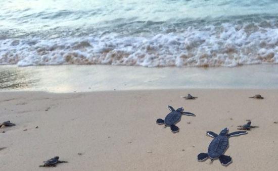 Ấp nở thành công hơn 130 cá thể rùa tại Cù Lao Chàm, Hội An