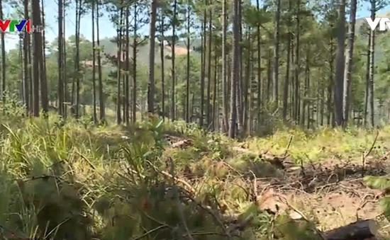 Phá rừng thông chiếm đất sản xuất