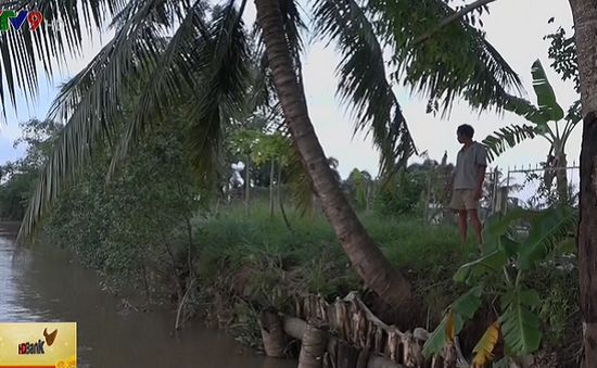 Vĩnh Long: Đê bao sạt lở đe dọa hàng chục hộ dân