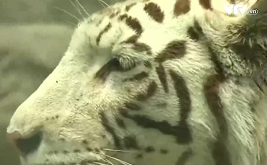 """Thú vị cuộc thi """"sắc đẹp"""" tại sở thú Peru"""