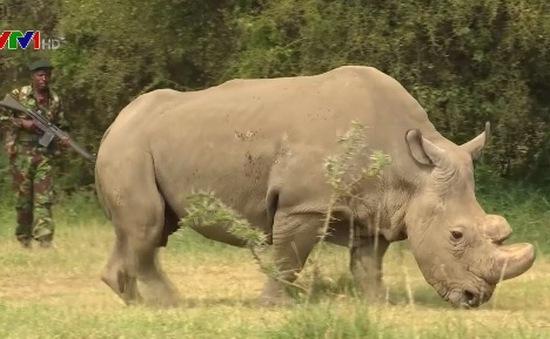 Nguy cơ tuyệt chủng loài tê giác trắng phương Bắc