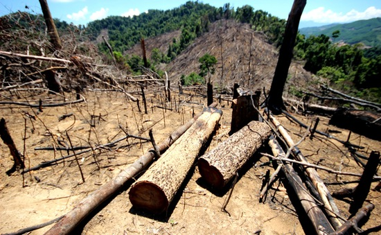 Rừng Tiên Lãnh (Quảng Nam) bị phá là do kiểm lâm thiếu trách nhiệm