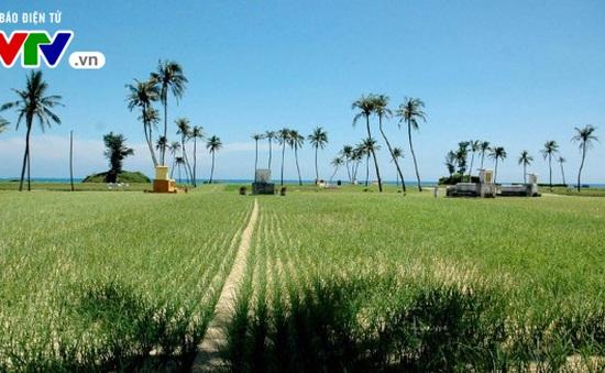 Giảm diện tích, gia tăng giá trị nông sản ở Lý Sơn