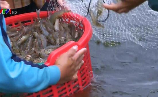Giá tôm nguyên liệu tại Đồng bằng sông Cửu Long tăng cao