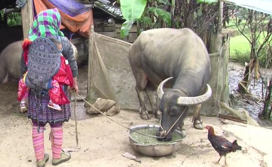 Gần 80 con trâu, bò chết rét tại Lào Cai