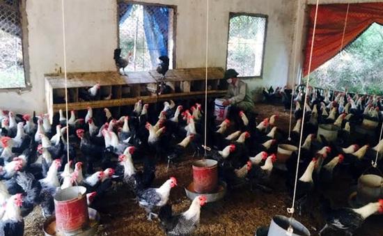 Người dân Vĩnh Phúc làm giàu từ nuôi gà siêu trứng