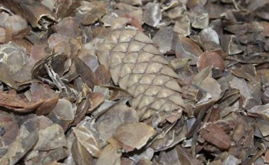 Malaysia thu giữ số lượng lớn vẩy tê tê