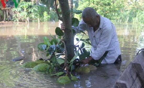 Vỡ đê cồn Thành Long (Bến Tre), hàng chục ha cây ăn trái bị ngập úng