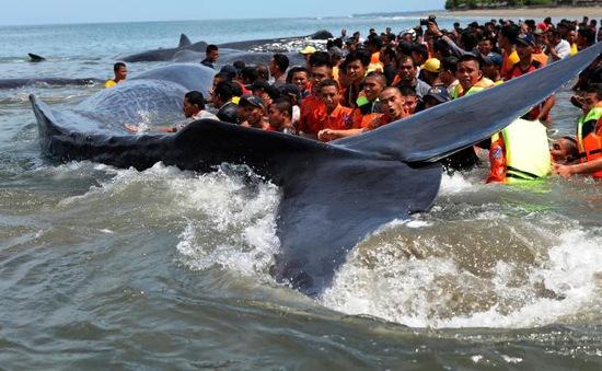 Nỗ lực cứu 10 con cá voi mắc cạn tại Indonesia