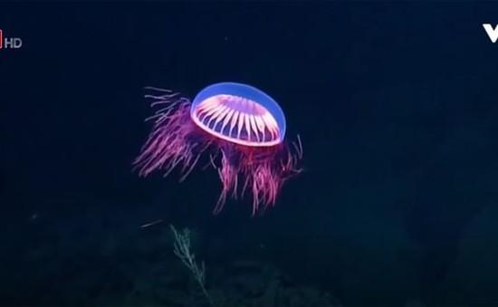 Chiêm ngưỡng loài sứa phát quang rực rỡ