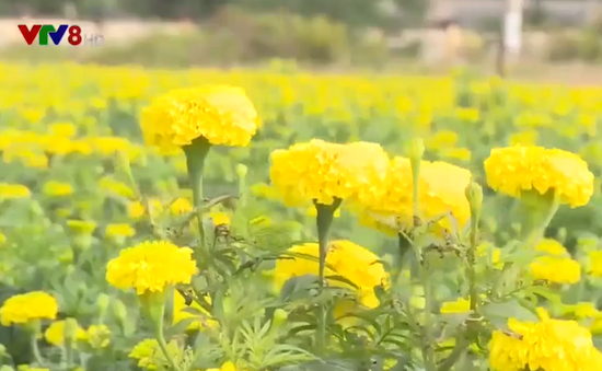 Vạn thọ - Sắc hoa gọi mùa Tết