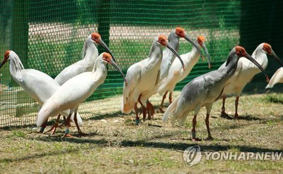 Hàn Quốc phát hiện virus cúm gia cầm từ chim hoang dã