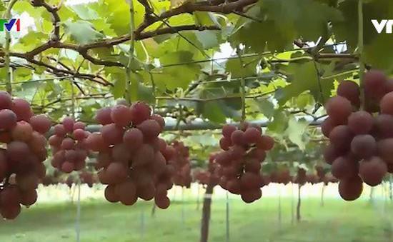 Nghề trồng nho truyền thống tại Nhật Bản