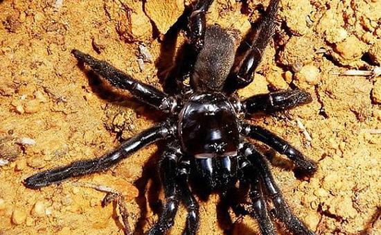 Nọc độc nhện Australia có tác dụng tiêu hủy khối u