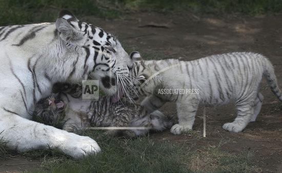 Loài hổ tại Nepal tăng gấp đôi số lượng chưa đầy 1 thập kỷ