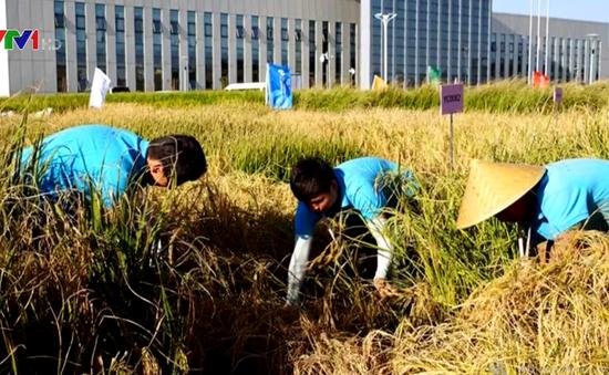 Trung Quốc nghiên cứu thành công lúa nước mặn