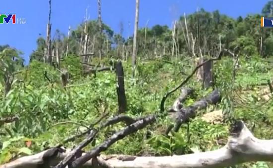 Vụ phá rừng ở Tiên Phước: Tuyên phạt 3 bị cáo 8 năm tù