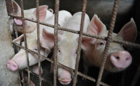 Hơn 1 triệu tấn thức ăn chăn nuôi nghi bị nhiễm vi khuẩn biến đổi gen
